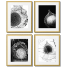 BLACK AND WHITE PHOTOS OF PHYSALIS